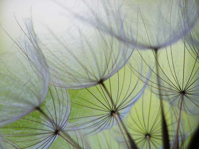 Зонтики одуванчиков
