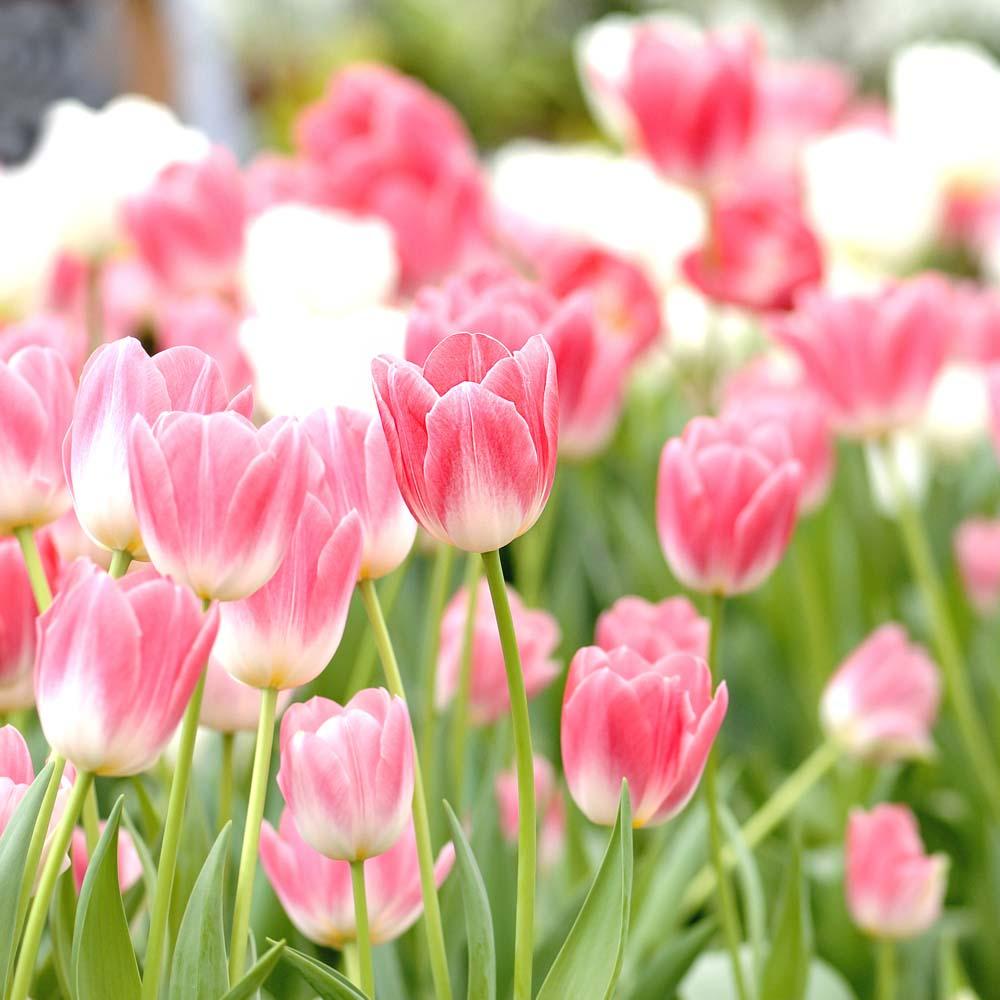 Поле розовых тюльпанов