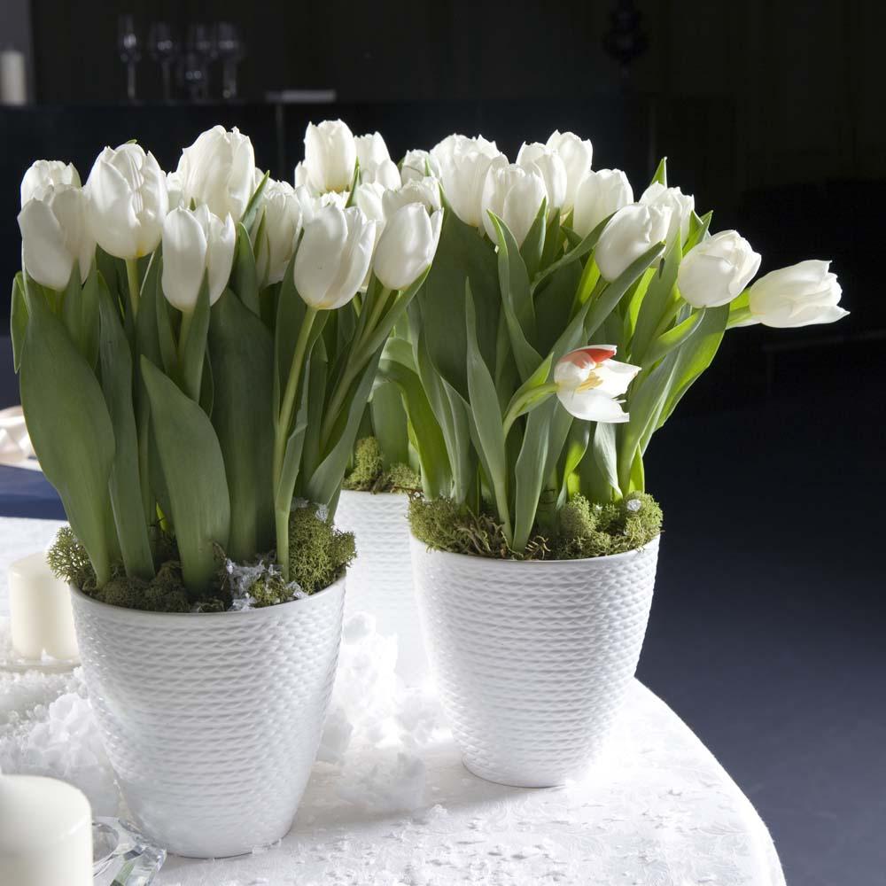 Белые тюльпаны в горшках