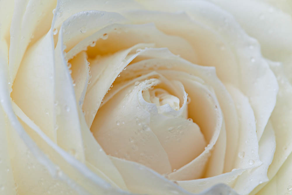 Белая роза в капельках воды