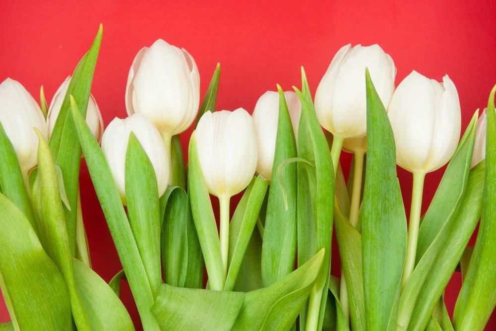 Белые тюльпаны на красном фоне