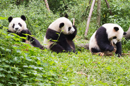 Каталог Фотообои панды:  | Wall-Style