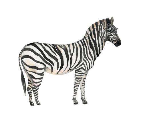 Каталог Фотообои зебра на белом фоне:    Wall-Style