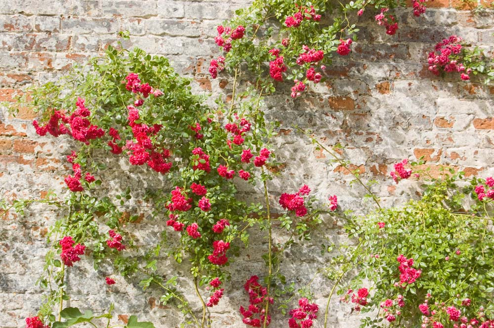 Чайные розы на стене